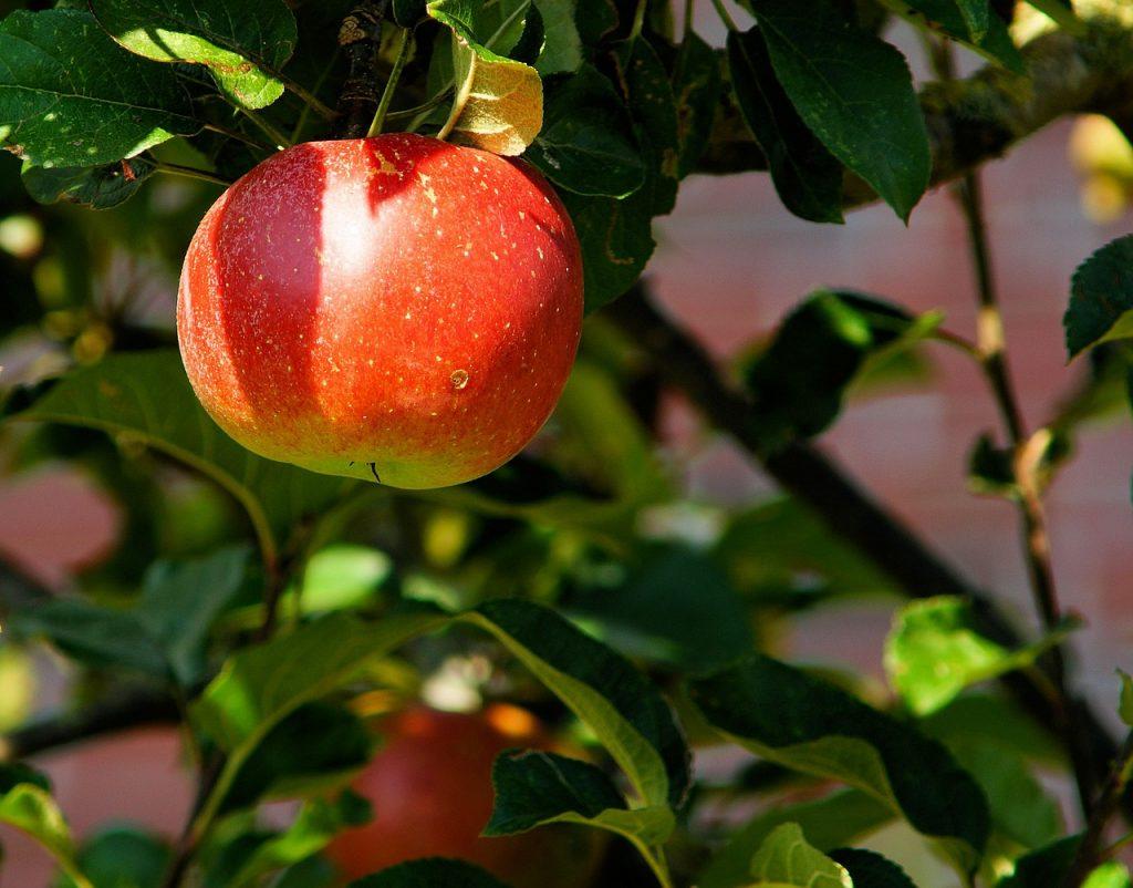 La pomme un aliment pour maigrir