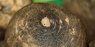 Le jus de radis noir pour maigrir