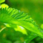 Les meilleures plantes pour maigrir